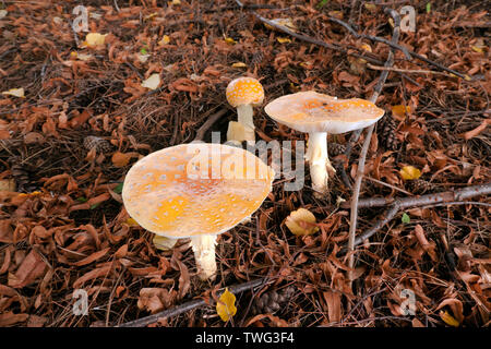 Close-up image of some  blusher mushrooms (Amanita rubescens), Newton, Massachusetts, USA - Stock Image