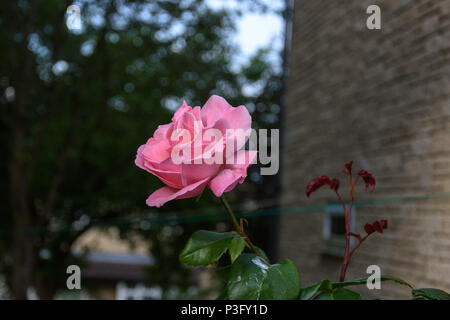 Pink rose  in front of wall in evening sunlight - Stock Image
