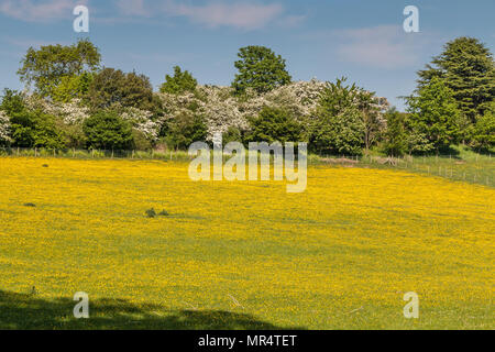 A meadow full of flowering buttercups in bright sunshine with a flowering hawthorn hedge in the background - Stock Image