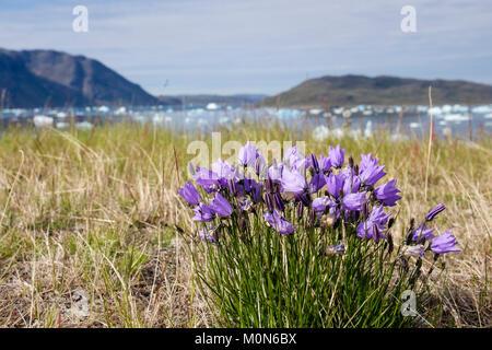 Harebells (Campanula rotundifolia) growing by the coast in summer. Narsaq, Kujalleq, Southern Greenland - Stock Image
