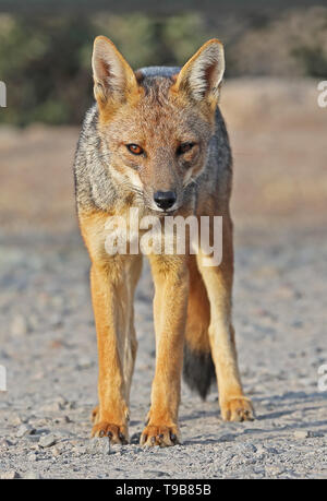Culpeo (Pseudalopex culpaeus) adult standing on dirt track  Farellones, Chile                    January - Stock Image