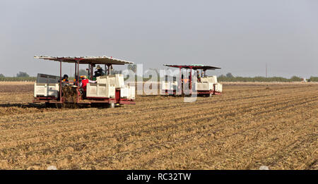 Harvester carrying workers lifting  'Camote' cultivar of Sweet Potatoes  'Ipomoae balatas'. - Stock Image