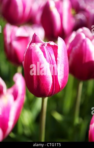 pink tulips close up photo - Stock Image