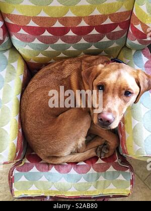 looking down from above onto a cute Labrador retriever puppy dog curled up on a comfy chair - Stock Image
