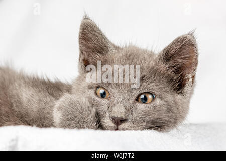 cute domestic kitten lying on white towel and looking to camera. suitable for animal, pet and wildlife themes - Stock Image