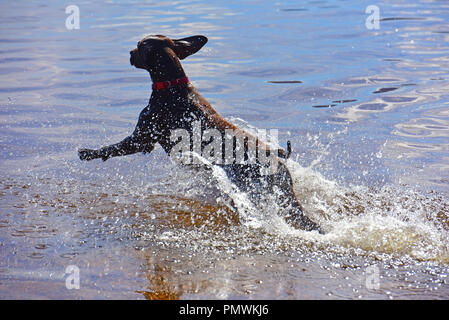 A day out with the family pet Labrador letting it have a swim in a local waterbodies which is it's favourite activity when outdoors. - Stock Image