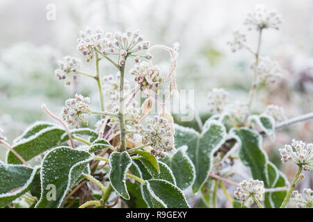 Stirlingshire, Scotland, UK. 24th Dec, 2018. UK weather - Ivy flowers covered in frost on a misty and cold Christmas Eve morning in Stirlingshire. Credit: Kay Roxby/Alamy Live News - Stock Image