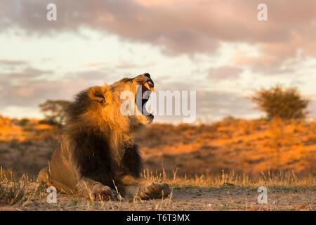 Lion (Panthera leo) male yawning, Kgalagadi Transfrontier Park, South Africa, January 2018 - Stock Image