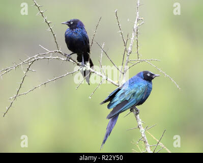 A pair of Rüppell's starling  (Lamprotornis purpuroptera) in a spiny shrub. Queen Elizabeth National Park, Uganda. - Stock Image