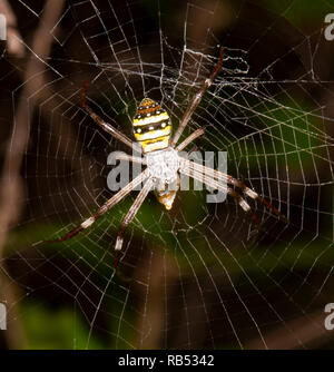 St Andrew's Cross Spider (Argiope Keyserlingi) with prey wrapped up, Queensland, QLD, Australia - Stock Image