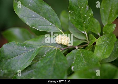 Chinese Mulberry, Cudrang or Mandarin Melon Berry, Maclura tricuspidata (Cudrania tricuspidata), Moraceae. East - Stock Image