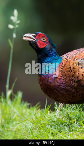 A common ring necked pheasant phasianus colchicus in close up portrait. England UK - Stock Image