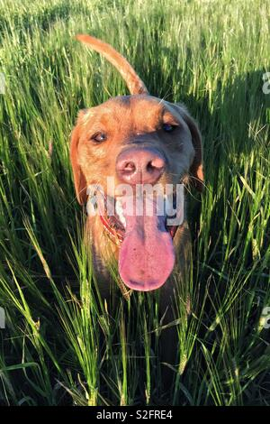 Portrait of a yellow Labrador retriever dog standing in tall grassy field with its long tongue sticks by out after a playful game - Stock Image