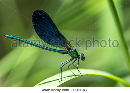 Calopteryx virgo damselfly known as the Beautiful Demoiselle (male) - Stock Image
