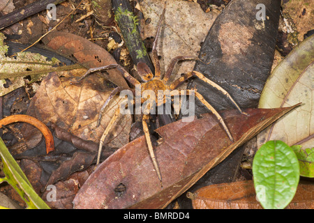 Spider in tropical rainforest, Borneo - Stock Image