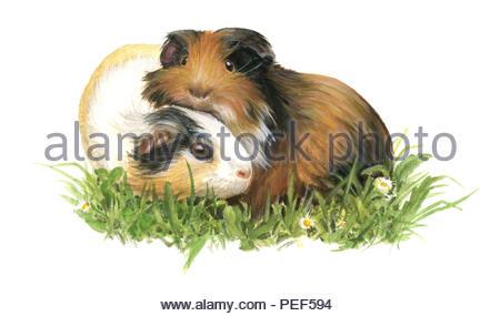 guinea pig caviaporcellus f. domestica - Stock Image