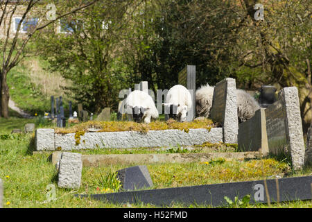 Two lambs amongst sheep grazing around the gravestones in the churchyard of St. Peter's church in the village - Stock Image