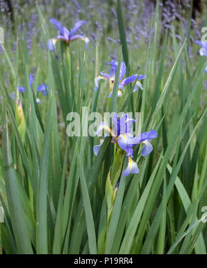 Siberian iris plant (Perry's Blue) in flower, a member of the Iridaceae family, late spring (May). - Stock Image
