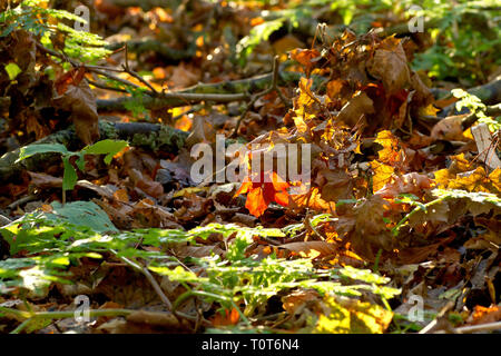 An abstract shot of the general leaf-litter and undergrowth of a woodland floor, back-lit by a low autumn sun. - Stock Image