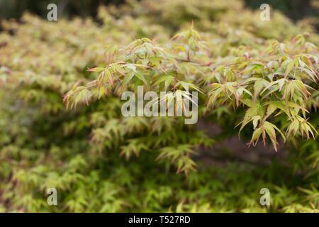 Acer palmatum 'Shishio hime' at the Oregon Garden in Silverton, Oregon, USA. - Stock Image