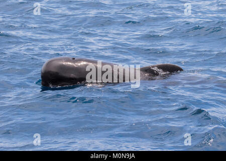 Short-finned Pilot Whale (Globicephala macrorhynchus) family occurring in large pod hanging around the boat - Stock Image