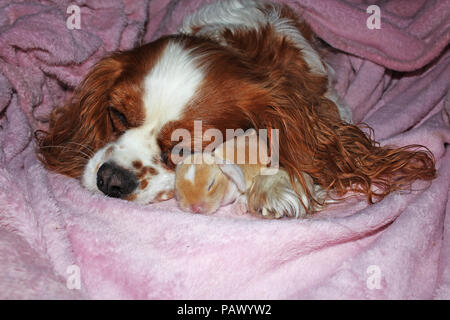 Dog and baby bunny new born rabbit kit. Cavalier king charles spaniel puppy and lop animals together. Cute. - Stock Image