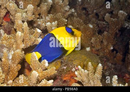 Bicolor Angelfish, adult,  Centropyge bicolor, swimming over coral reef. Tulamben, Bali, Indonesia. Bali Sea, Indian Ocean - Stock Image