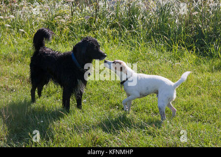 Domestic dogs socialising in countryside - Stock Image