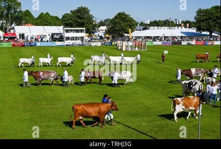Ardingly Sussex UK 6th June 2019 - The Livestock Parade is a highlight on the first day of the South of England Show held at the Ardingly Showground in Sussex. The annual agricultural show highlights the best in British farming and produce and attracts thousands of visitors over three days . Credit : Simon Dack / Alamy Live News - Stock Image