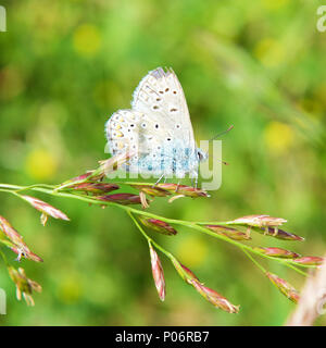 North Downs, Surrey. 8th Jun, 2018. UK Weather: Butterflies on the North Downs, Surrey. A Common Blue Butterfly Polyommatus icarus rests on grass in a meadow on the North Downs at Colley Hill, Reigate, Surrey. Photo ©Lindsay Constable / Alamy Live News - Stock Image