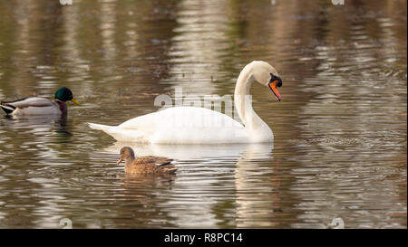 Swan and ducks in lake - Stock Image