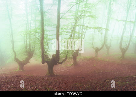 fantasy bright forest with fog - Stock Image
