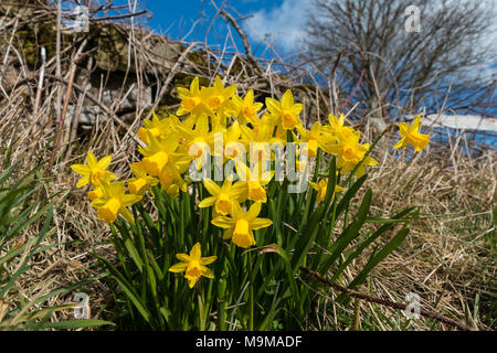 Miniature dwarf daffodils  in flower in a roadside verge in spring sunshine with a blue sky background - Stock Image