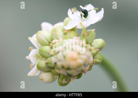ornithogalum arabicum, star of bethlehem still life, a healing herb - 'comforter and soother of pains and sorrows' - Stock Image