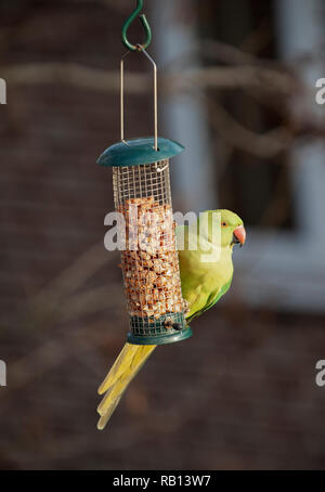 female Ring Necked Parakeet, Psittacula krameri, on nut feeder, London, United Kingdom - Stock Image
