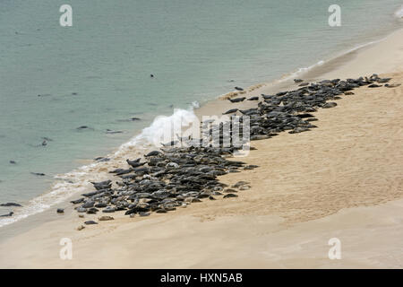 Atlantic grey seals (Halichoerus grypus) hauled out on beach on the isle of Mingulay, Western Isles, Scotland. June. - Stock Image