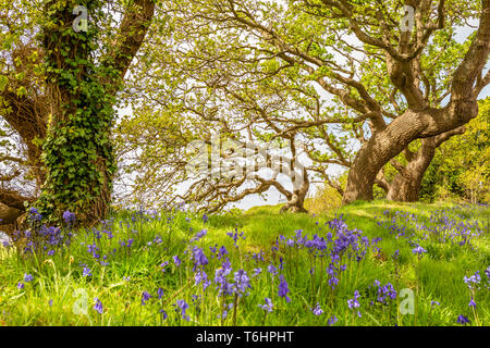 Colour landscape photograph of carpet of spanish bluebells out of focus in bloom under windswept trees in background, Taken in Poole, Dorset, England. - Stock Image