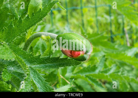 The bud of a giant red poppy in natural sunlight with various grasses and other plants in the background. Photographed in north east Italy. - Stock Image