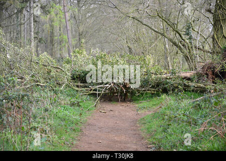 Fallen tree partially blocking a footpath in Whichford Woods, Warwickshire - Stock Image
