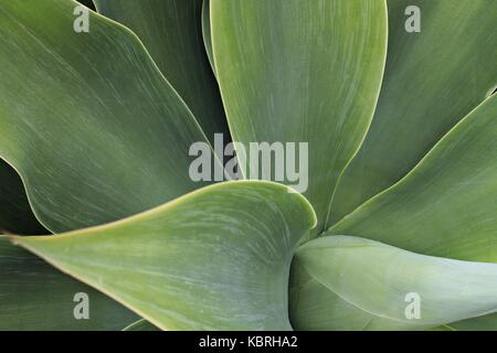 Close up of Agave attenuata leaves. - Stock Image
