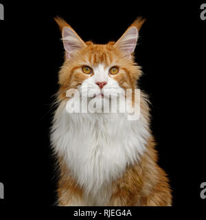 Adorable Portrait of Ginger Maine Coon Cat with white chest Stare in Camera Isolated on Black Background - Stock Image