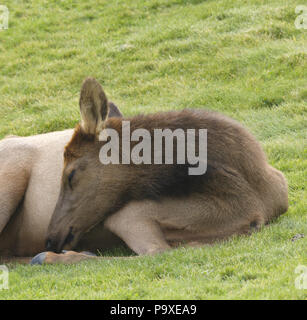 Young elk calf curls up and dozes on grass in morning sunshine.  Location is at Mammoth Hot Springs in Yellowstone National Park in Wyoming.  Date is  - Stock Image