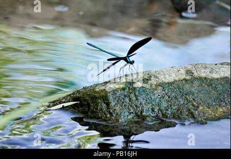 Ebony jewelwing flexing its beautiful iridious metallic green-blue colors on rock by stream in natural habitat in Toronto Ontario, Canada - Stock Image