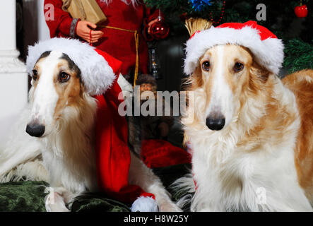 large borzoi hounds dressed up as father christmas - Stock Image