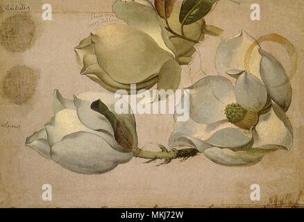 Magnolia Blossoms - Stock Image