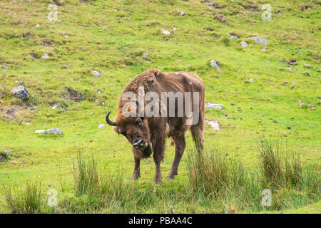 European bison, Bison bonasus,part of a small captive breeding program in the United Kingdom, taken with telephoto lens. - Stock Image
