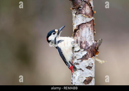 Close up of a male Great Spotted Woodpecker Dendrocopos Major with head and body visible from behind a silver birch tree - Stock Image