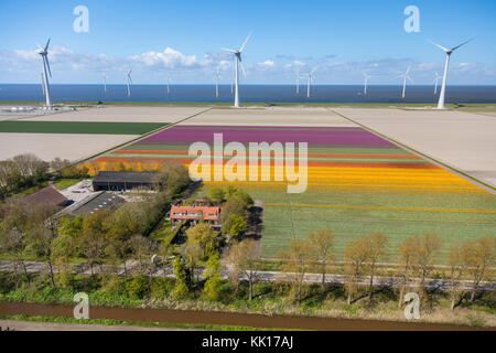 Aerial view of tulip fields and wind turbines, North Holland, Netherlands - Stock Image
