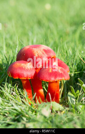 Scarlet Waxcap, Scarlet Hood, Hygrocybe coccinea, fungi, toadstools, Ebernoe cricket field, October, Sussex, UK - Stock Image