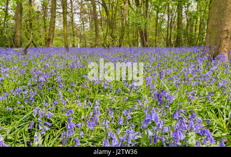 Bluebells In Ancient Woodland, Cheshire, UK - Stock Image